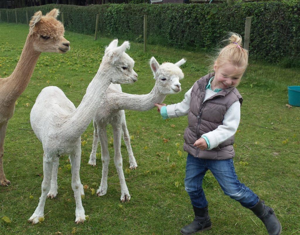 Gekke beesten die alpaca's.