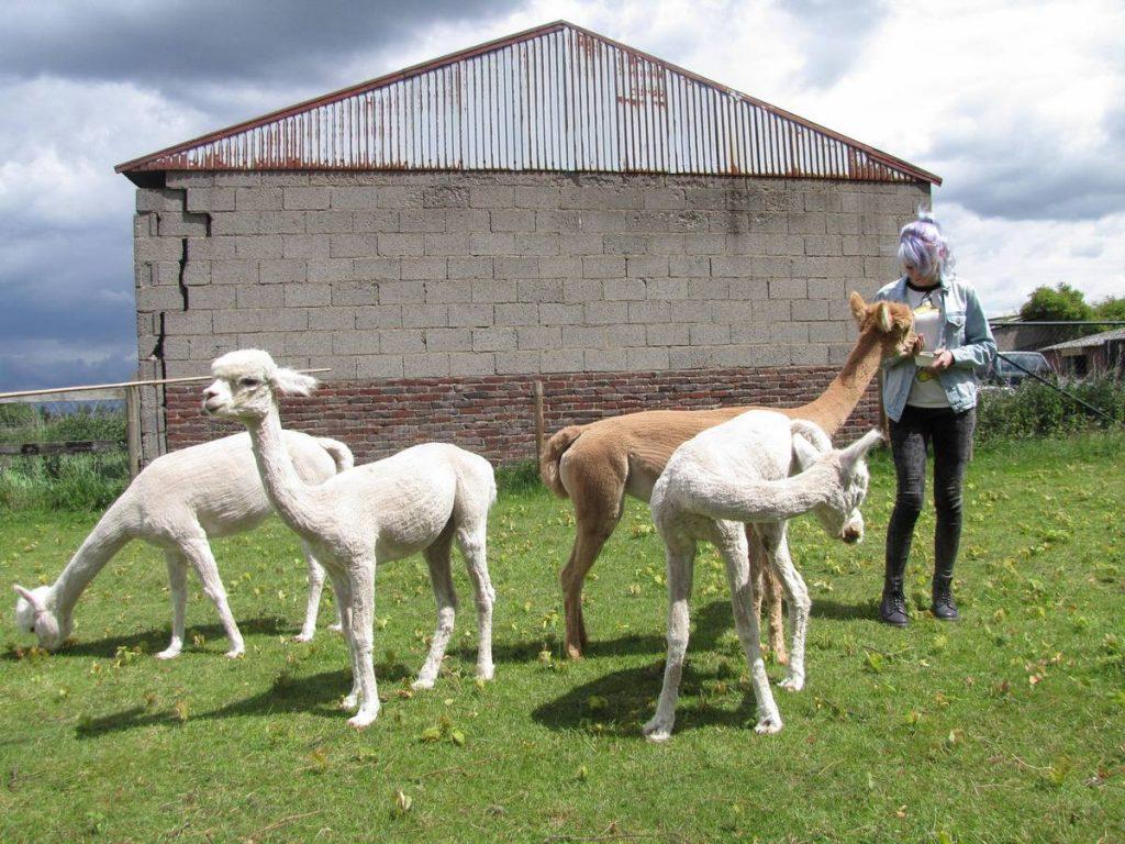 Alpaca's snoepen graag alprofos brokjes en de jonge dame doet het goed.