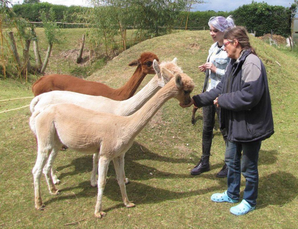 Irmgard doet voor hoe je een alpaca brokjes voert.