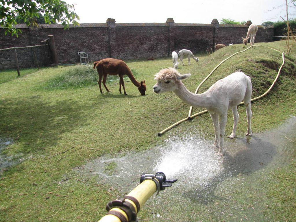 Sommige alpaca's zijn gek op water en anderen hebben er een hekel aan
