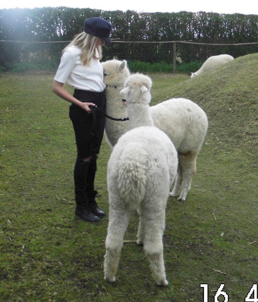 Ook de alpaca's vinden de dame leuk.