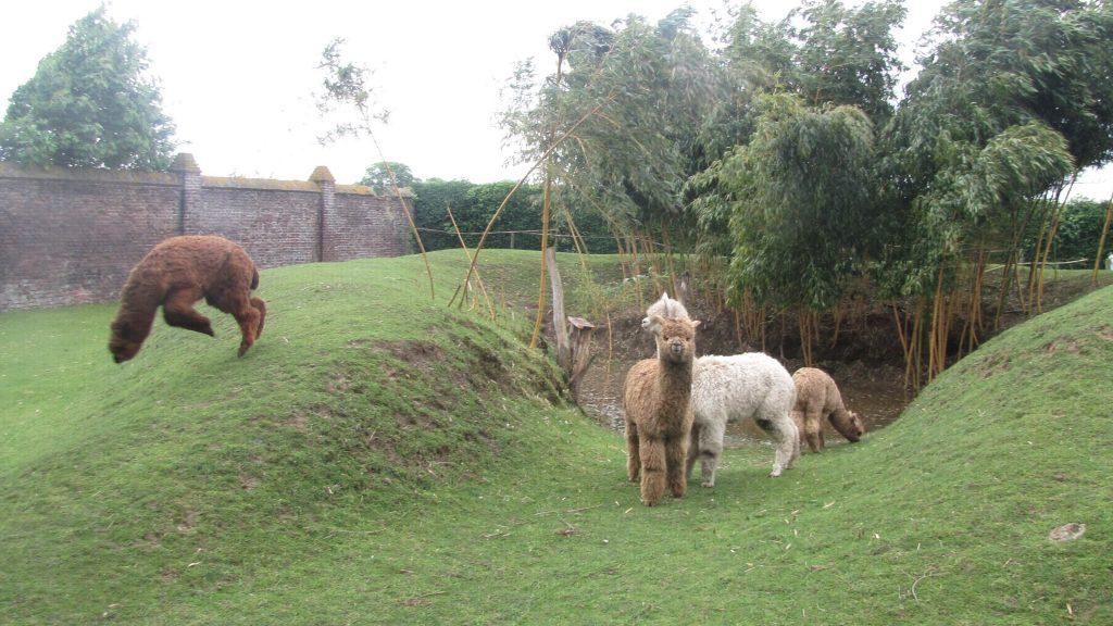 Alpaca's bij de dijk.