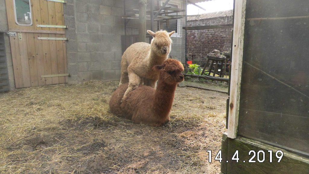 De eerste stap van onze toekomstige alpaca dekhengst. Bam Kosmo op zijn weg naar dekhengst.