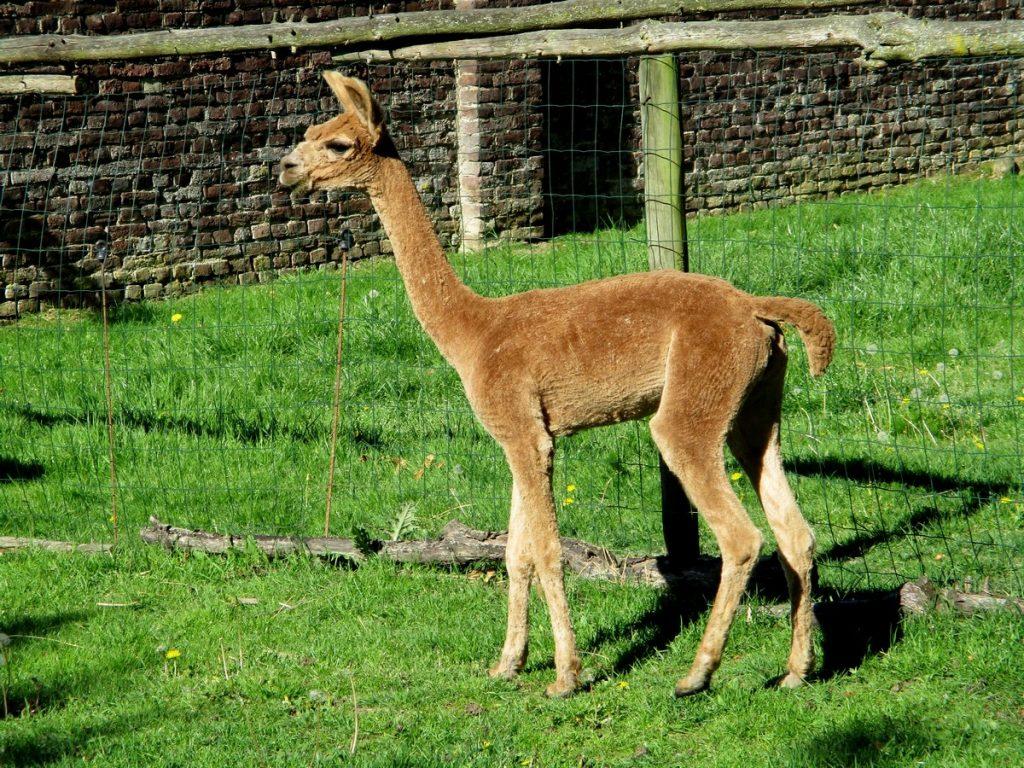 Aankomende alpaca dekhengst BAM Kosmo na zijn eerste grote scheerbeurt vorig jaar.