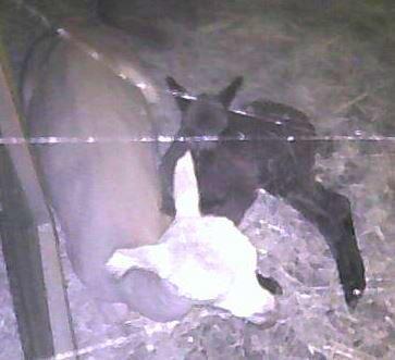 alpaca moeder en cria in de nacht samen