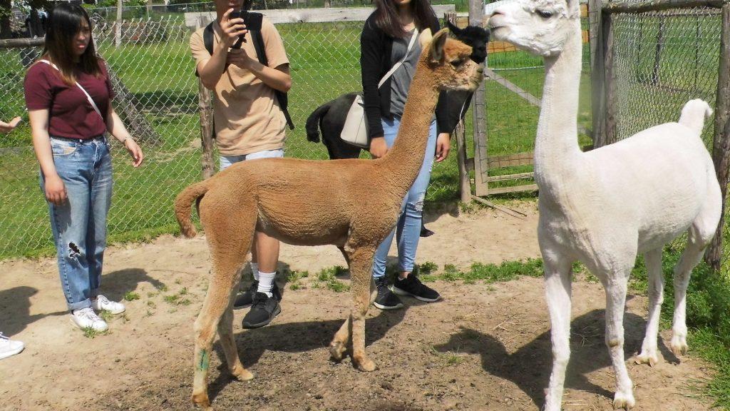Groep uit Honkong op bezoek bij onze alpaca dekhengsten.