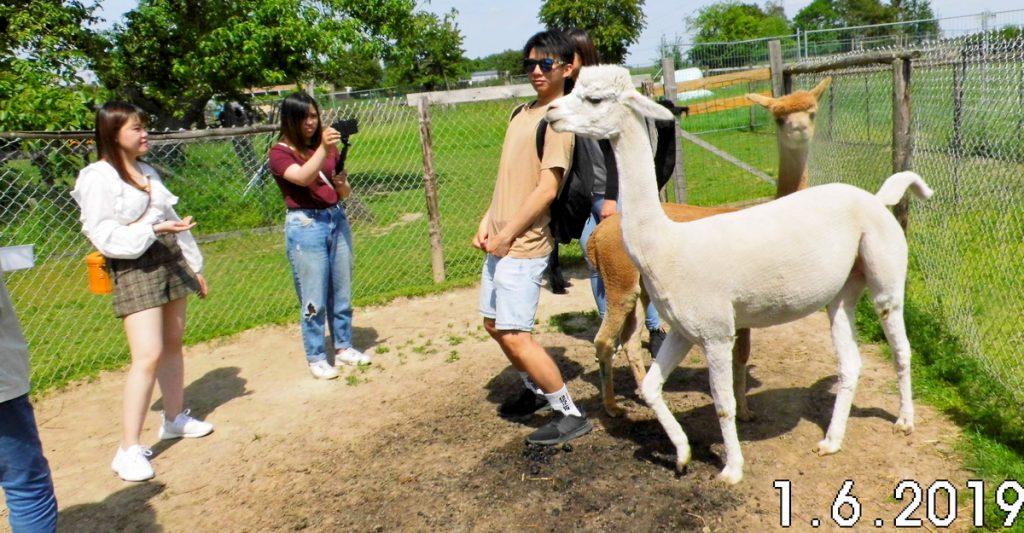 Actieviteiten op de alpaca farm zijn o.a. rondleidingen.