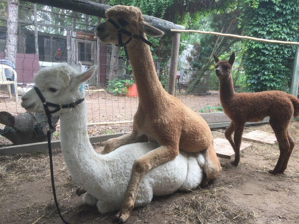 BAM Kosmo dekt de witte alpaca merrie BAM Hera. Het veulen van Hera kijkt toe.