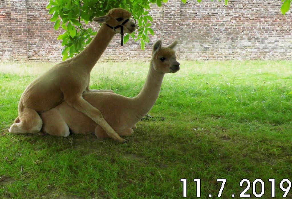 Alpaca hengst Kosmo doet een poging om alpaca merrie Kiki Dee te dekken.