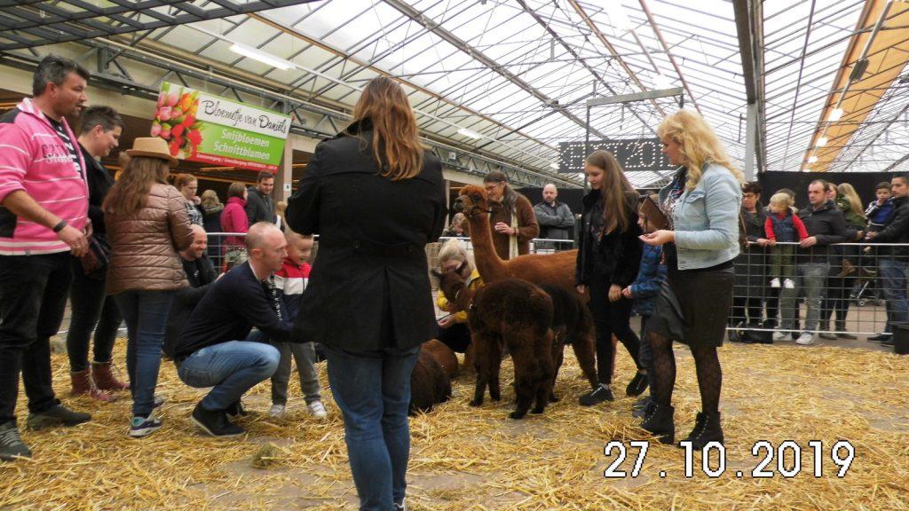 Andere activiteiten op de alpaca farm. Bamby Alpaca Farm gaat op verzoek ook naar evenementen toe. Hier op bezoek bij Tuincentrum Daniëls in Vlodrop.