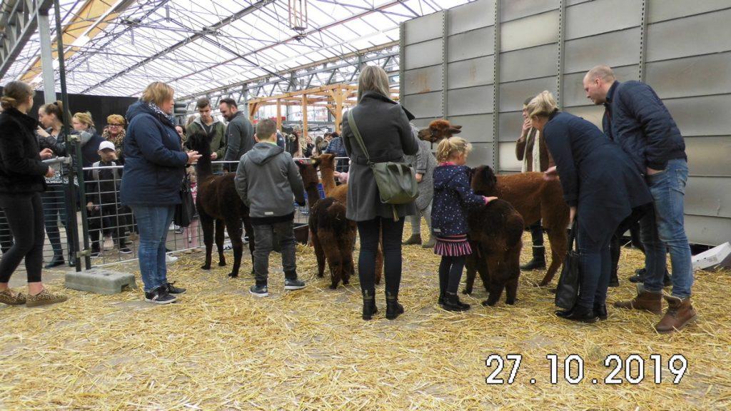 De kinderen van het winkelend publiek willen de alpaca's knuffelen bij Tuincentrum Daniëls.