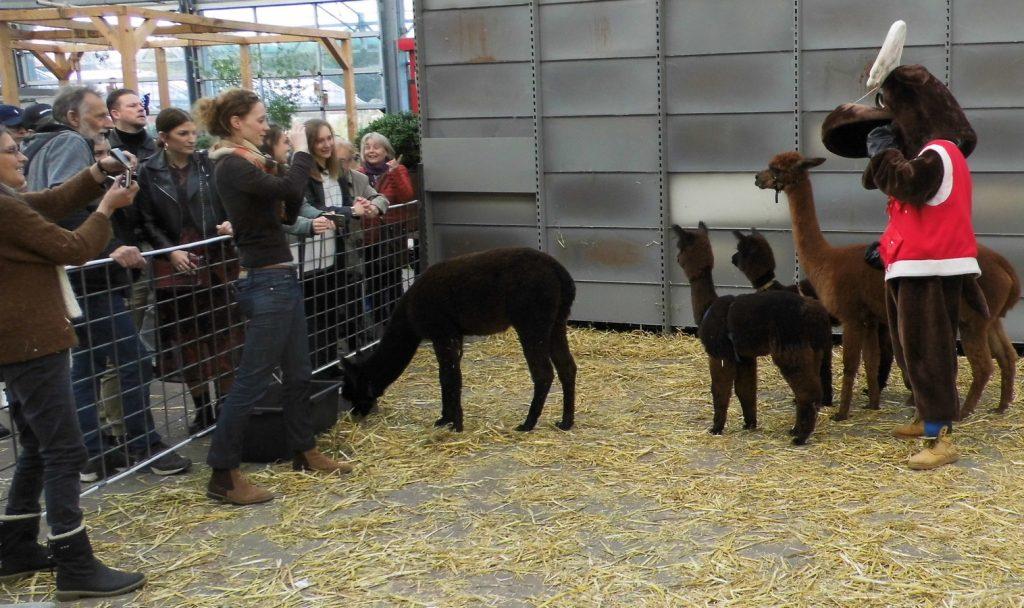 Het rendier in de ring bij de alpaca's.
