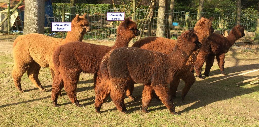 Van de 5 veulens van 2019 zijn nog 2 alpaca's te koop. 1 alpaca hengst veulen is te koop en het alpaca merrie veulen is te koop.