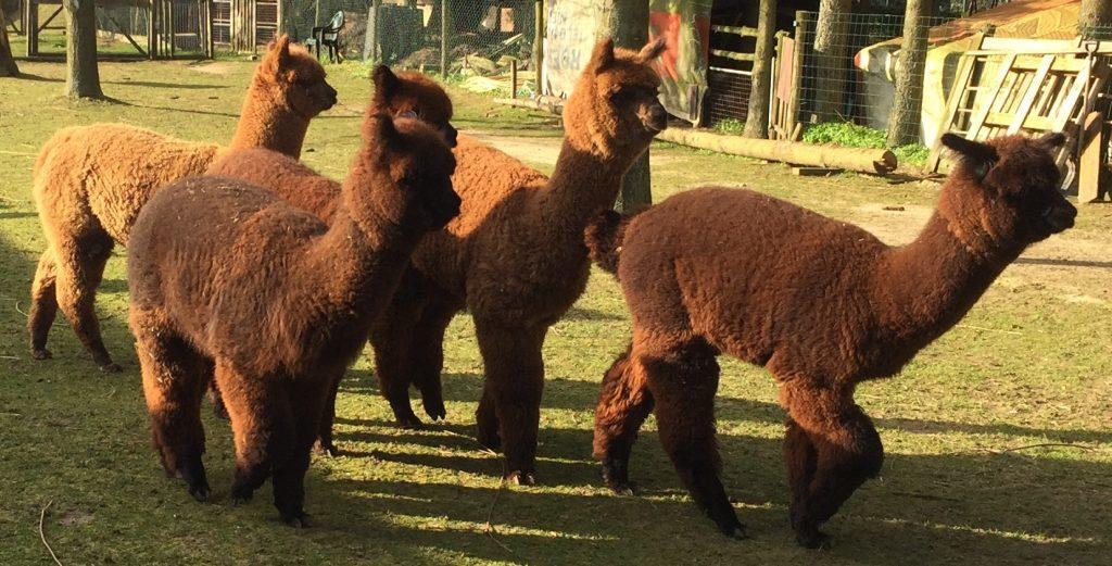 De 5 nakomelingen van onze zwarte alpaca dekhengst (Sunsetestate Urban Tactics) uit 2019