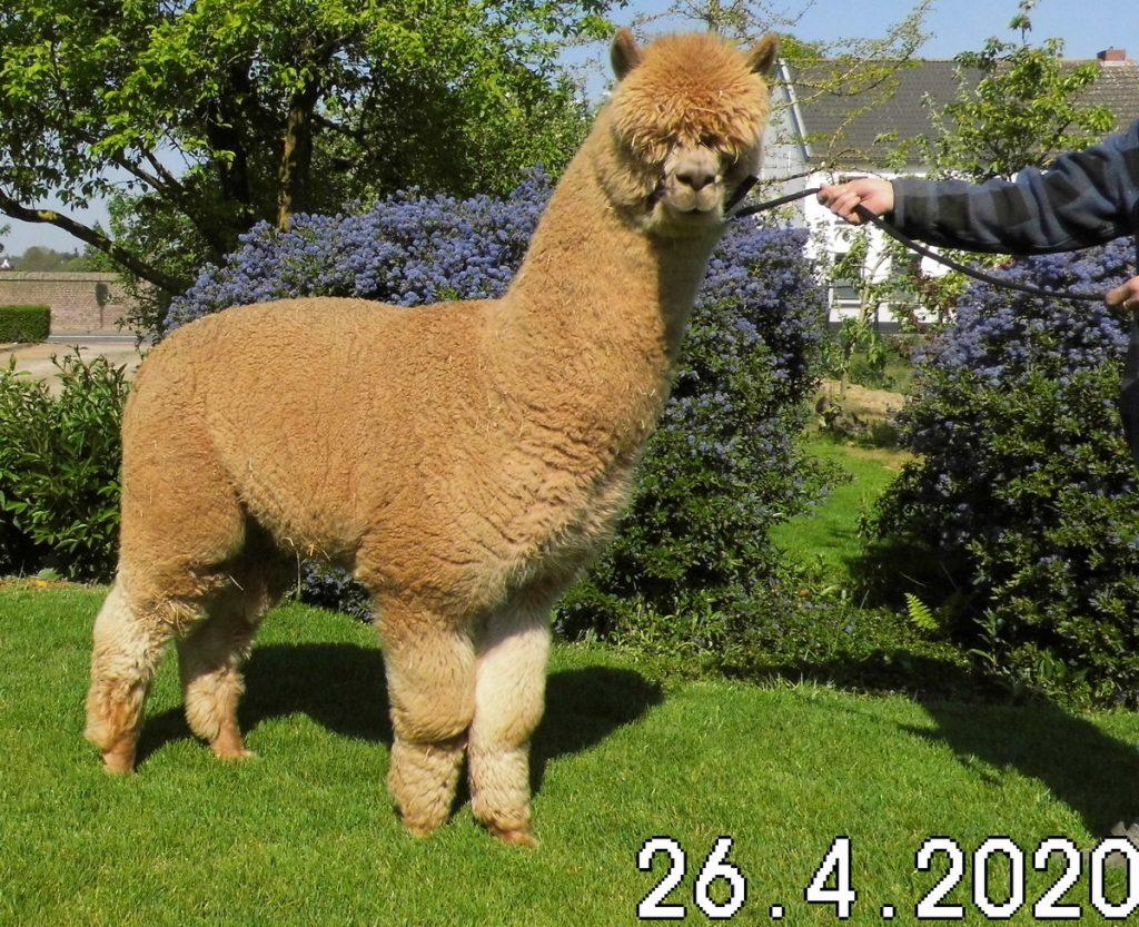Alpaca dekhengst BAM Kosmo aan het halster op het gazon.