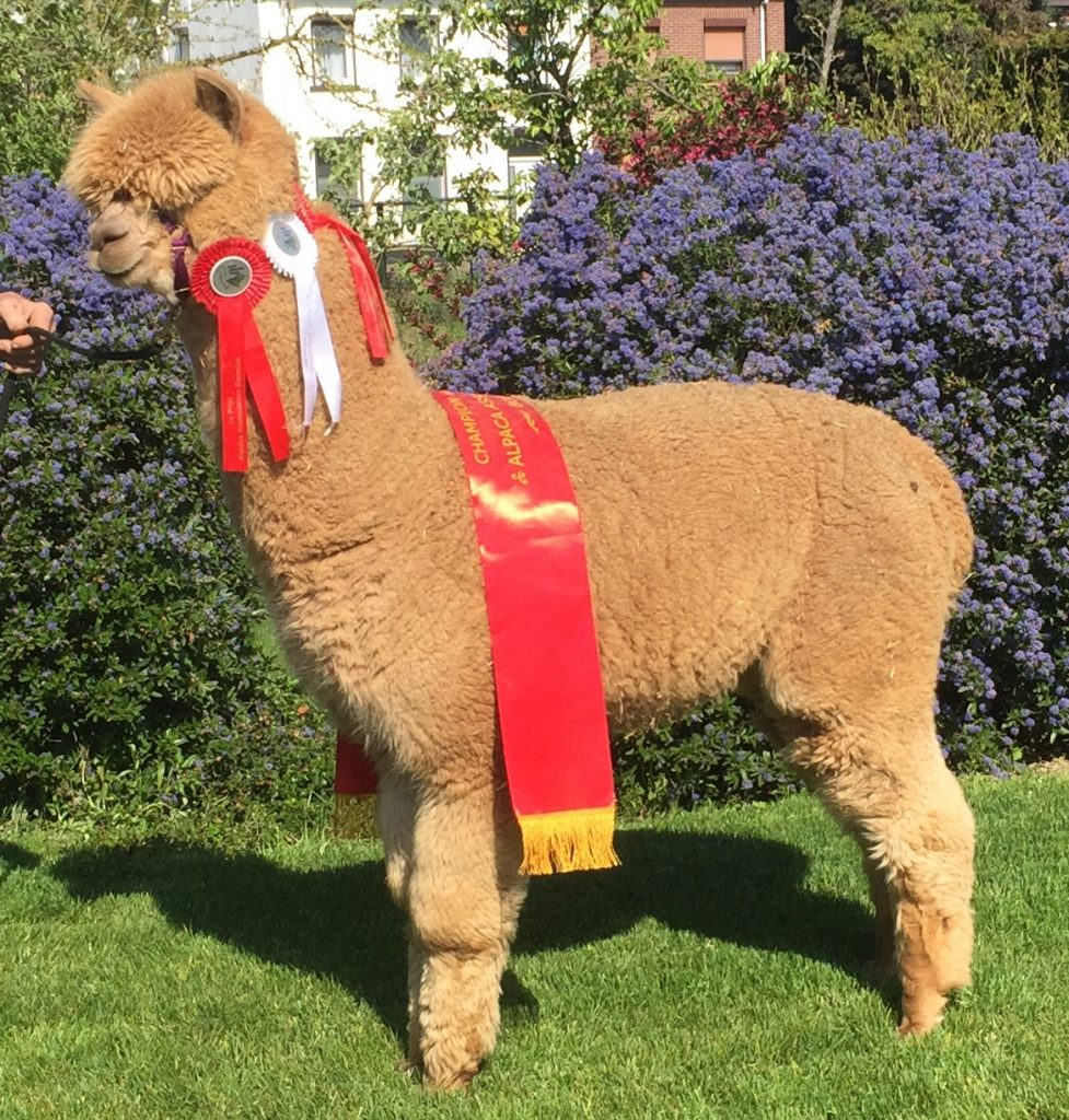 De jonge alpaca dekhengst BAM Kosmo met zijn reeds gewonnen prijzen.