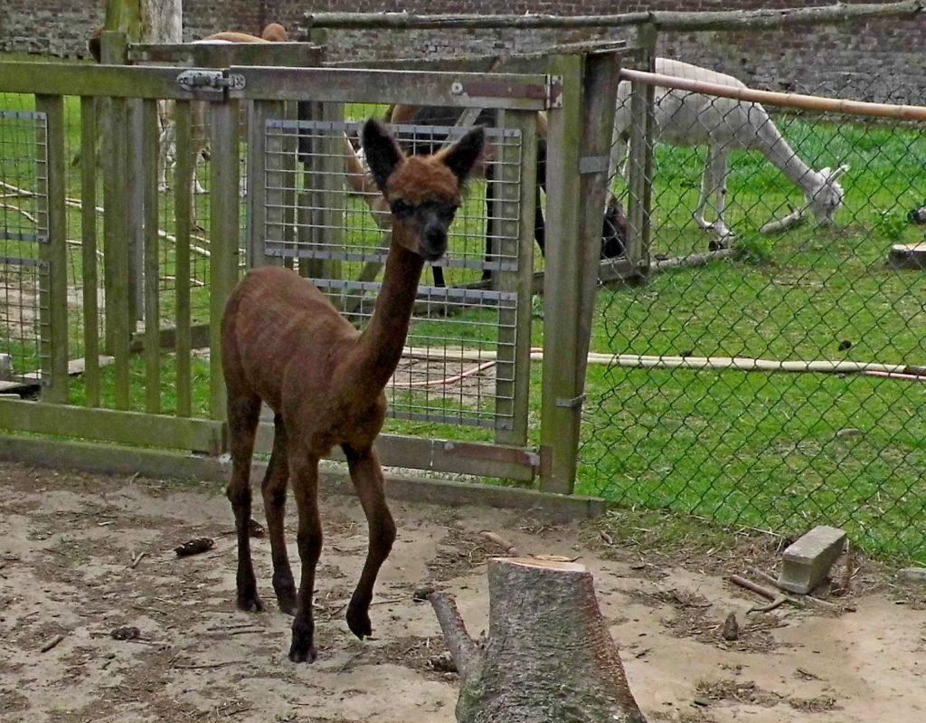 Het 1 jarige merrie veulen BAM Misty na haar eerste scheerbeurt. Deze alpaca is te koop.
