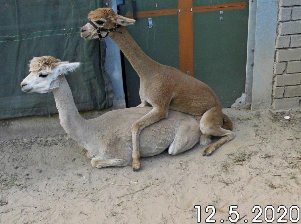 De fawn alpaca dekhengst BAM Kosmo dekt LL Hazel Sunset nog effe na.