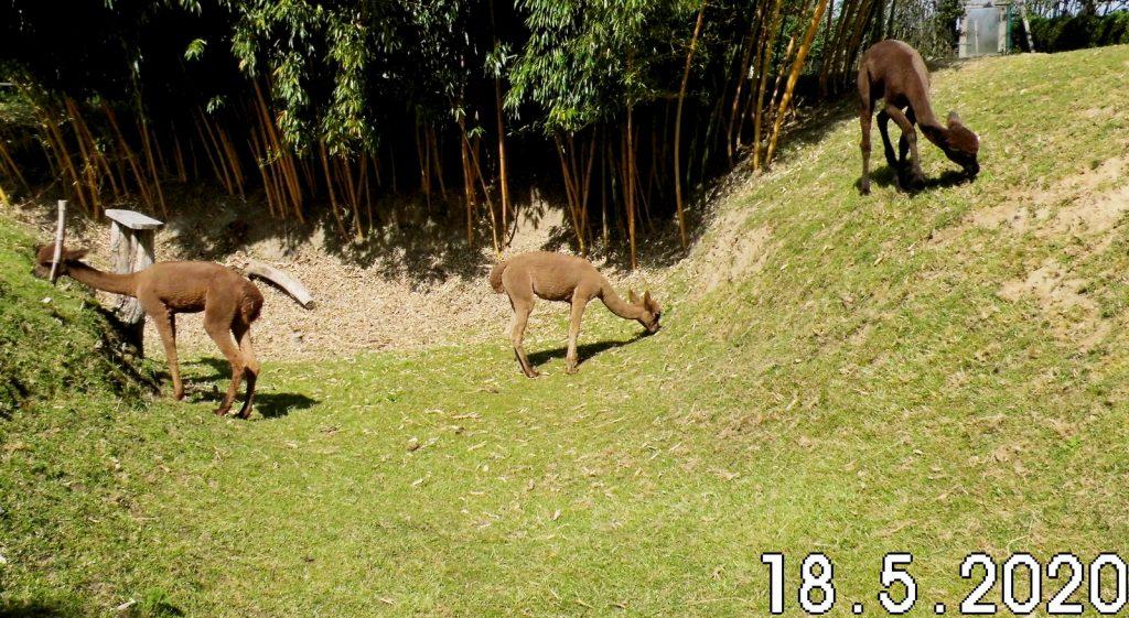 Van deze drie een jaar oude alpaca's zijn er twee te koop. Het mooie fawn kleurige hengst veulen in het midden op de foto mag weg en ook voor het bruine merrie veulen rechts hebben we nog geen acceptabel bod.