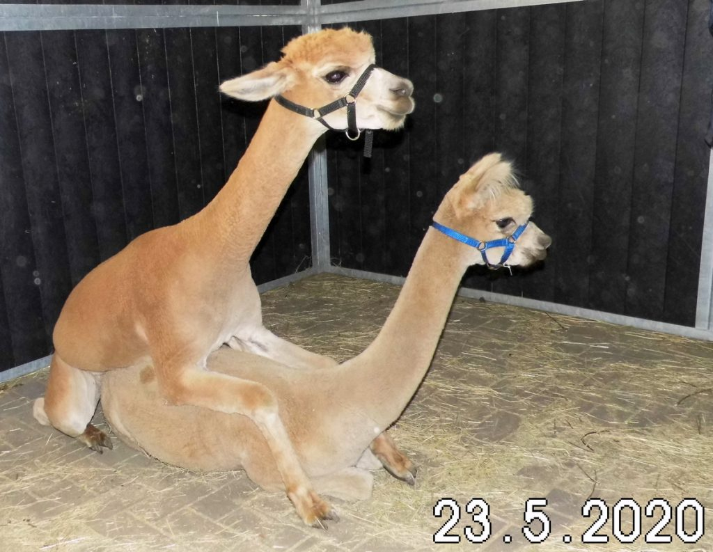 De fawn alpaca dekhengst BAM Kosmo dekt Olivia op verplaatsing.