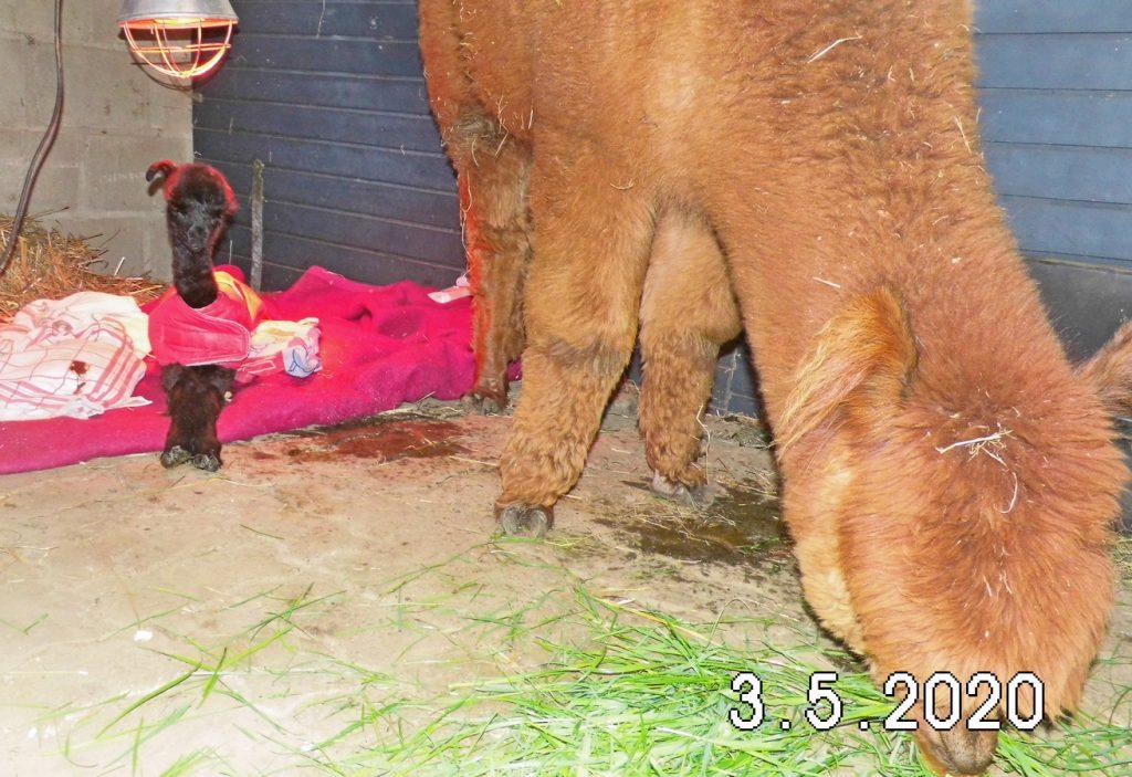 De volgende dag gaat het eerst geboren alpaca veulen 2020 terug naar moeder.