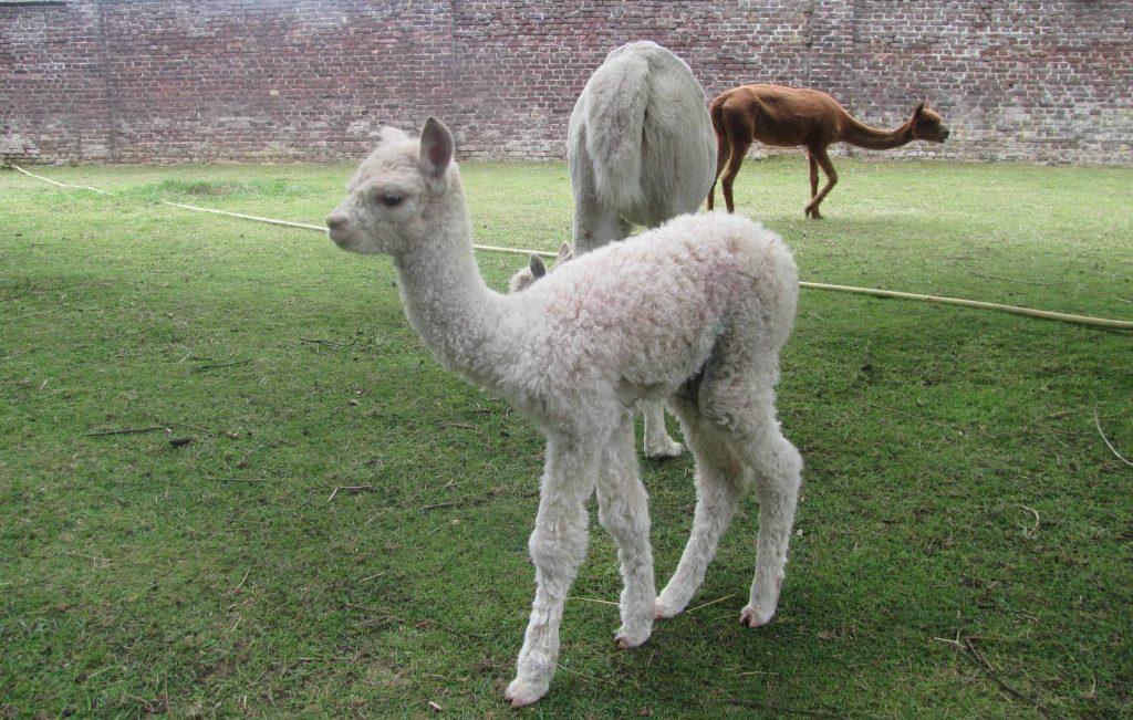 Kort na haar geboorte was Healey al een lief en mooi alpacaatje.