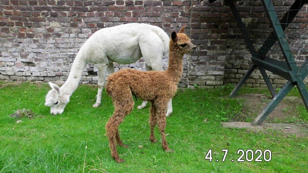 Nigth Fire en moeder BAM Healey in de wei 3 uur na de geboorte.