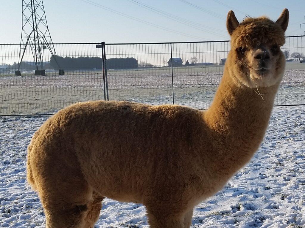 Alpaca dekhengst BAM Kosmo zit in de winter weer goed in zijn vierde vacht.